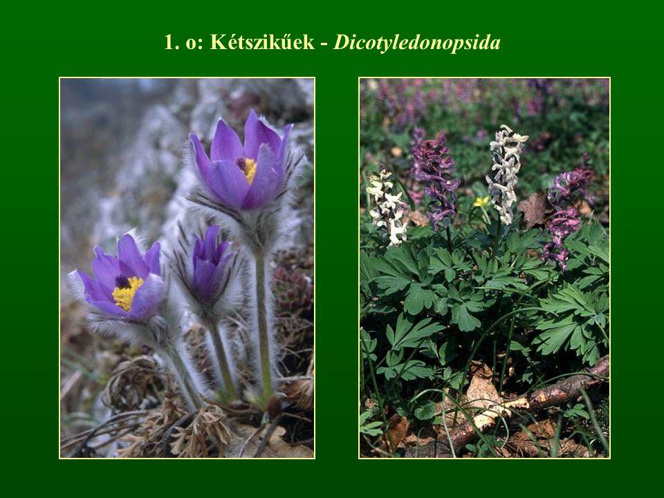 1. o: Kétszikűek - Dicotyledonopsida