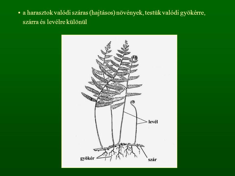 a harasztok valódi száras (hajtásos) növények, testük valódi gyökérre, szárra és levélre különül