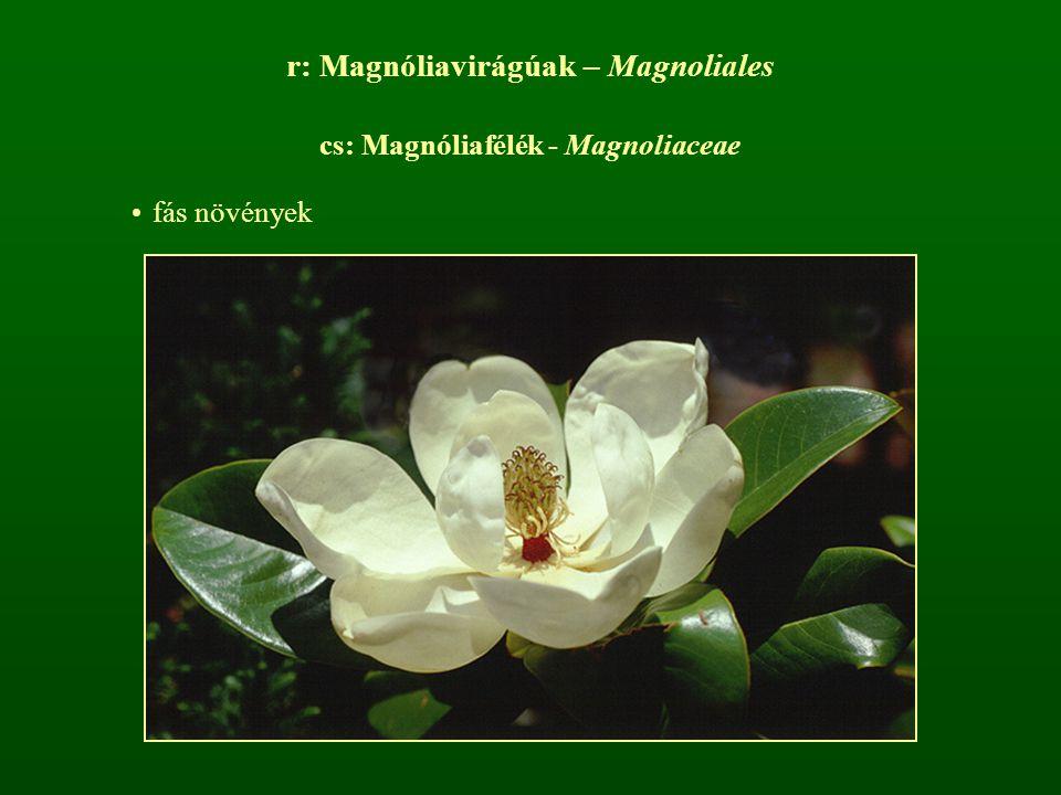 r: Magnóliavirágúak – Magnoliales cs: Magnóliafélék - Magnoliaceae fás növények
