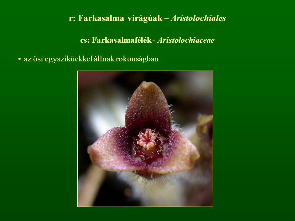 r: Farkasalma-virágúak – Aristolochiales cs: Farkasalmafélék - Aristolochiaceae az ősi egyszikűekkel állnak rokonságban