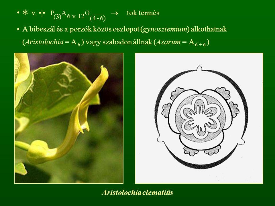 r: Tündérrózsa-virágúak – Nymphaeales cs: Tündérrózsafélék - Nymphaeaceae évelő lágyszárúak, rizómásak, víz színén úszó, hosszú nyelű levelekkel (HH)
