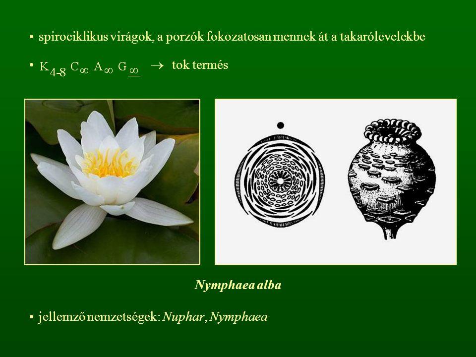 spirociklikus virágok, a porzók fokozatosan mennek át a takarólevelekbe  tok termés jellemző nemzetségek: Nuphar, Nymphaea Nymphaea alba