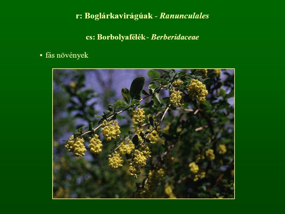r: Boglárkavirágúak - Ranunculales cs: Borbolyafélék - Berberidaceae fás növények