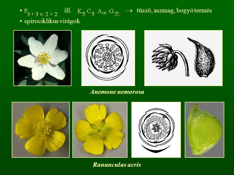 ill.  tüsző, aszmag, bogyó termés spirociklikus virágok Anemone nemorosa Ranunculus acris