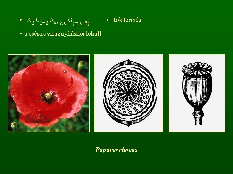  tok termés a csésze virágnyíláskor lehull Papaver rhoeas