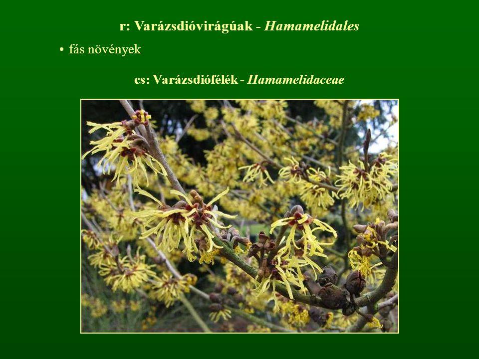 r: Varázsdióvirágúak - Hamamelidales fás növények cs: Varázsdiófélék - Hamamelidaceae