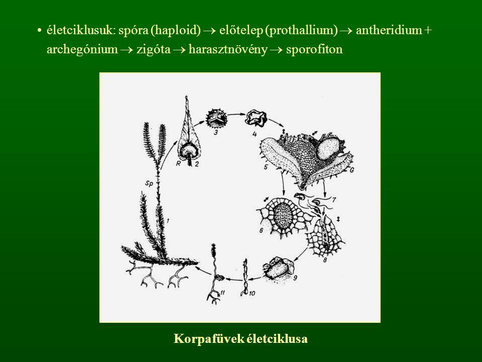 életciklusuk: spóra (haploid)  előtelep (prothallium)  antheridium + archegónium  zigóta  harasztnövény  sporofiton Korpafüvek életciklusa