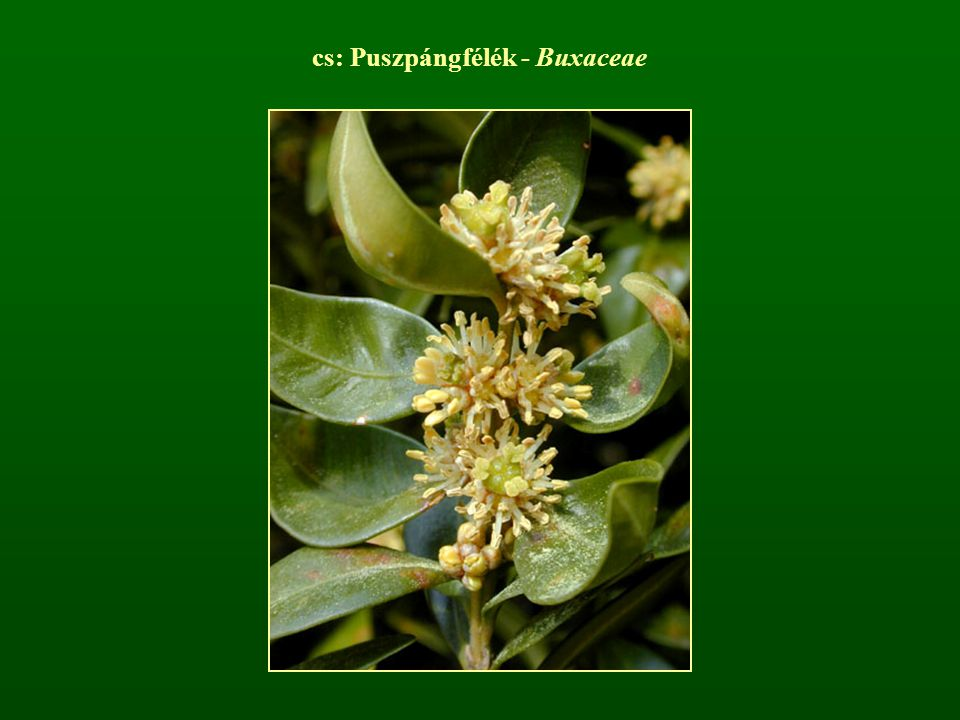 cs: Puszpángfélék - Buxaceae