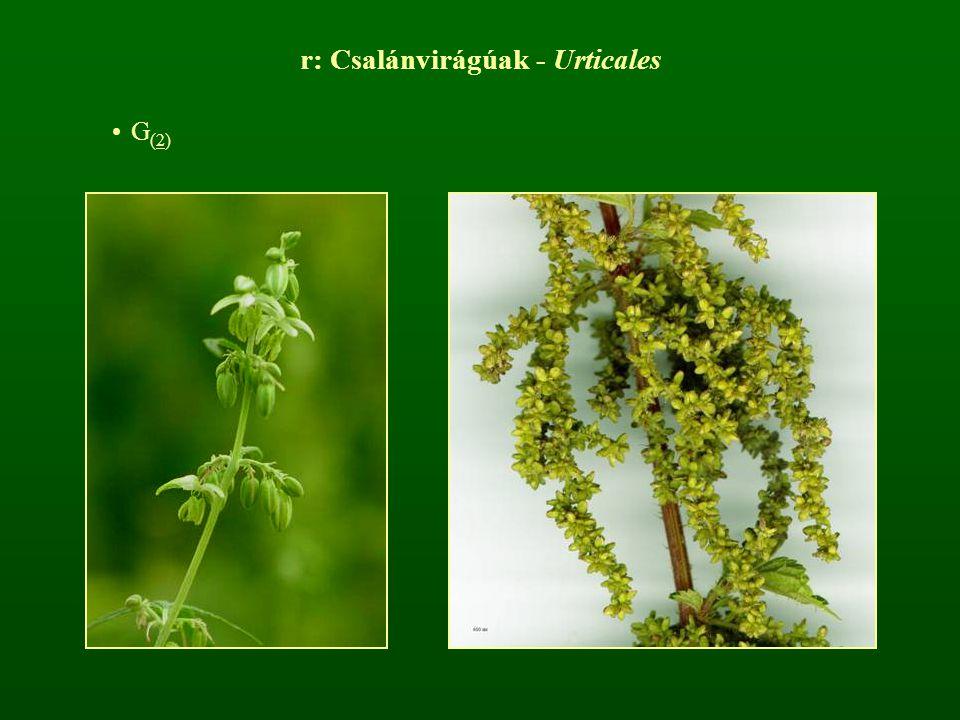 r: Csalánvirágúak - Urticales G (2)