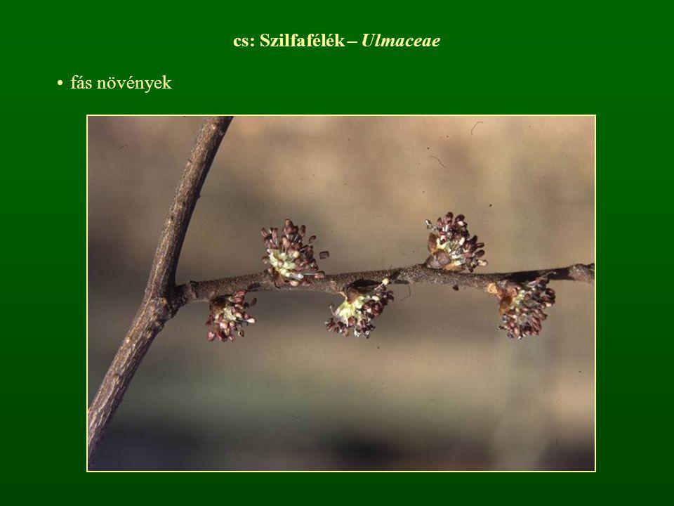 cs: Szilfafélék – Ulmaceae fás növények