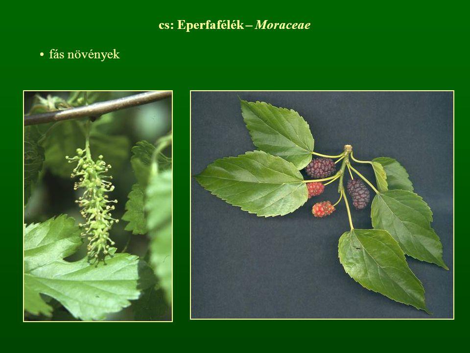 cs: Eperfafélék – Moraceae fás növények