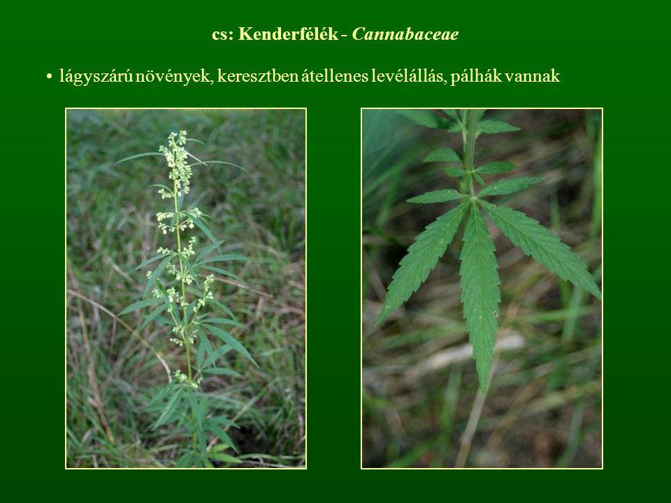 cs: Kenderfélék - Cannabaceae lágyszárú növények, keresztben átellenes levélállás, pálhák vannak