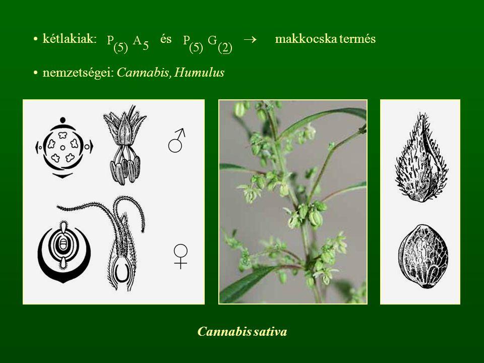 kétlakiak: és  makkocska termés nemzetségei: Cannabis, Humulus ♂ ♀ Cannabis sativa