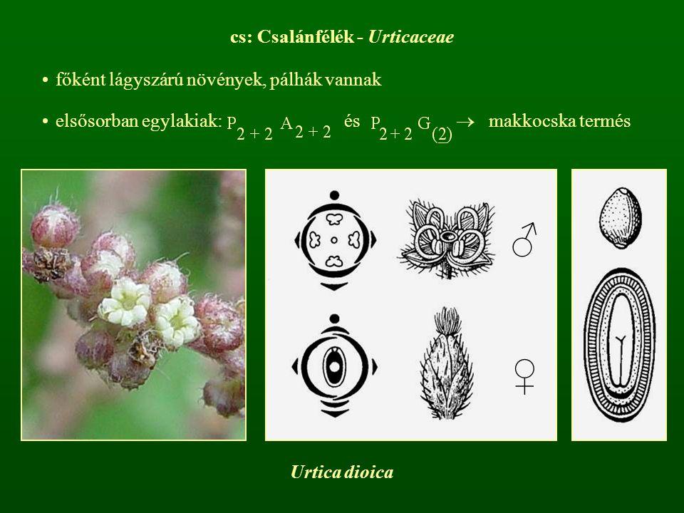 cs: Csalánfélék - Urticaceae főként lágyszárú növények, pálhák vannak elsősorban egylakiak: és  makkocska termés ♂ ♀ Urtica dioica