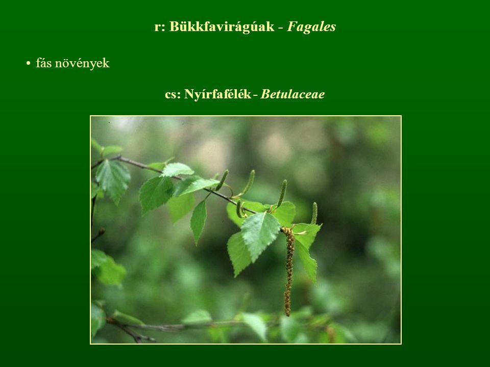 r: Bükkfavirágúak - Fagales fás növények cs: Nyírfafélék - Betulaceae