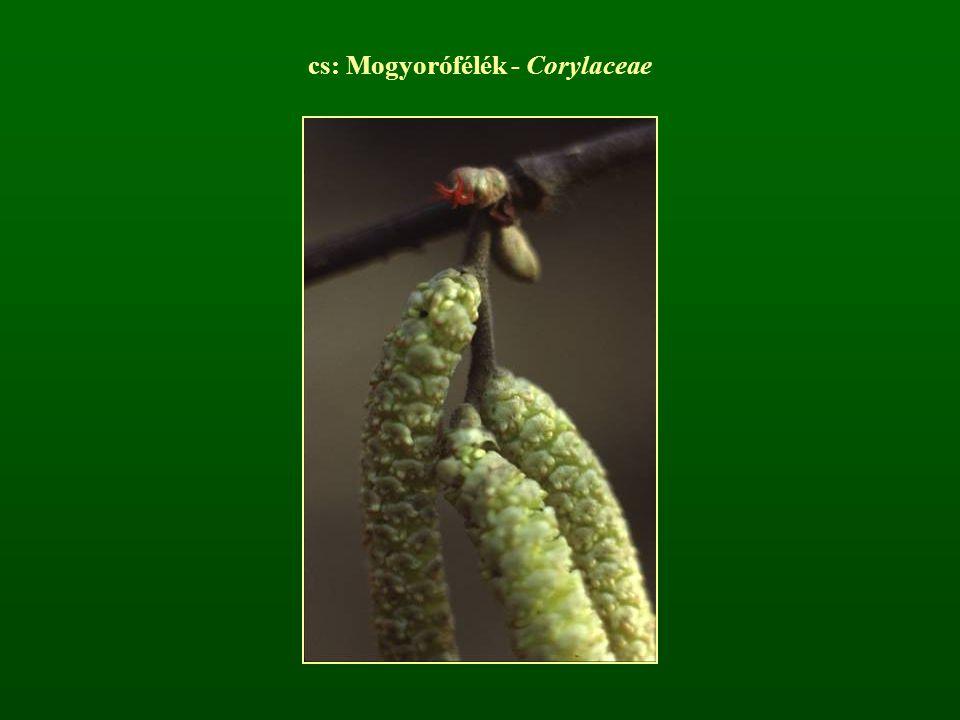 cs: Mogyorófélék - Corylaceae