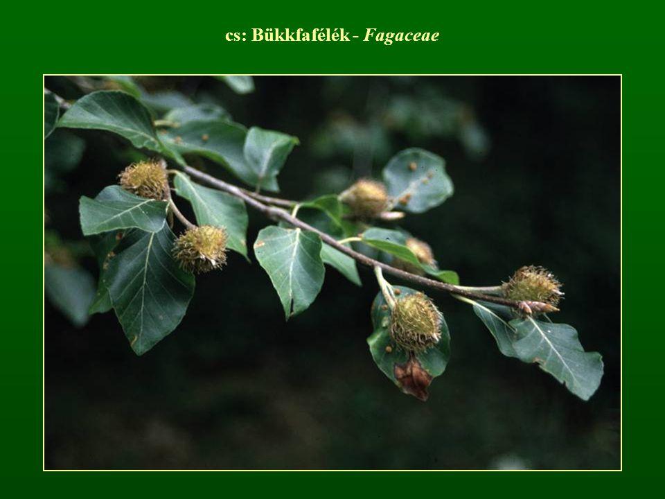 cs: Bükkfafélék - Fagaceae