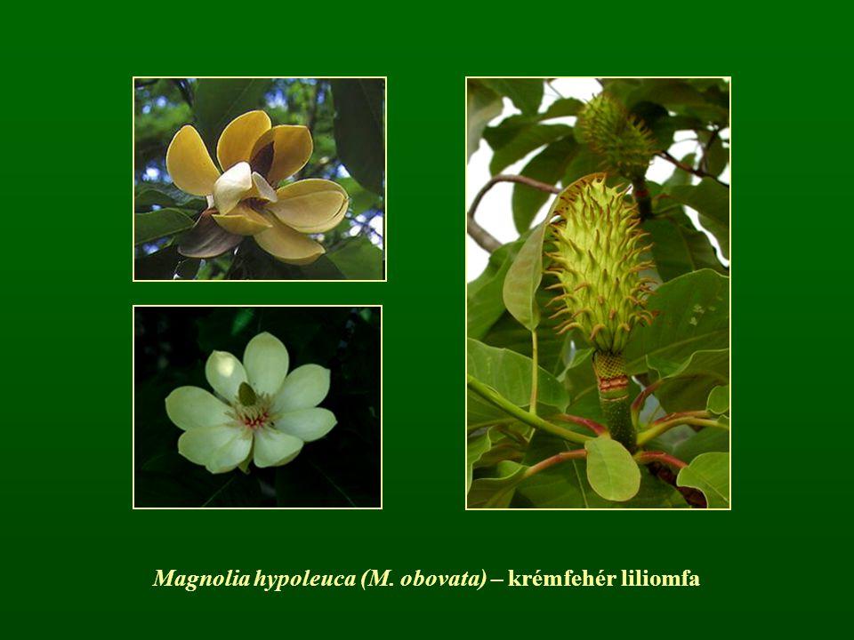 Magnolia hypoleuca (M. obovata) – krémfehér liliomfa