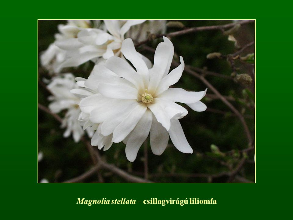 Magnolia stellata – csillagvirágú liliomfa