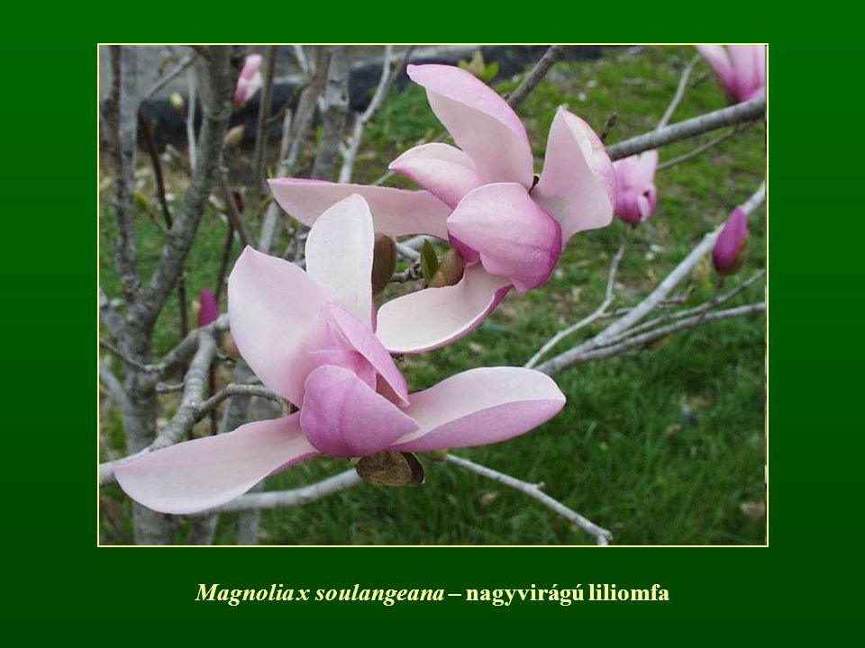 Magnolia x soulangeana – nagyvirágú liliomfa