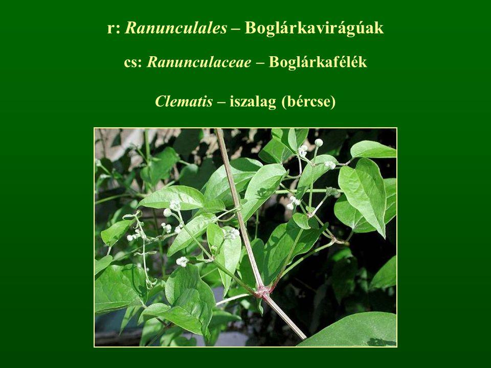 r: Ranunculales – Boglárkavirágúak cs: Ranunculaceae – Boglárkafélék Clematis – iszalag (bércse)
