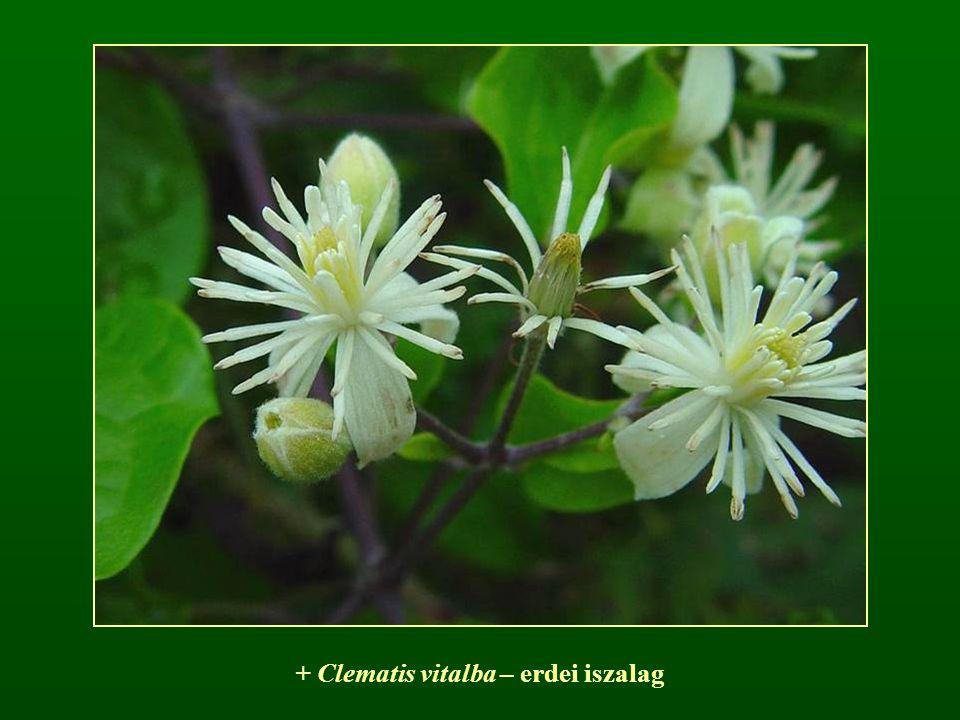 + Clematis vitalba – erdei iszalag