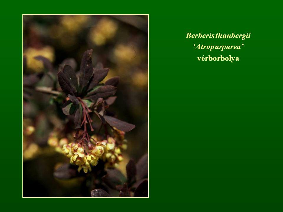 Berberis thunbergii 'Atropurpurea' vérborbolya
