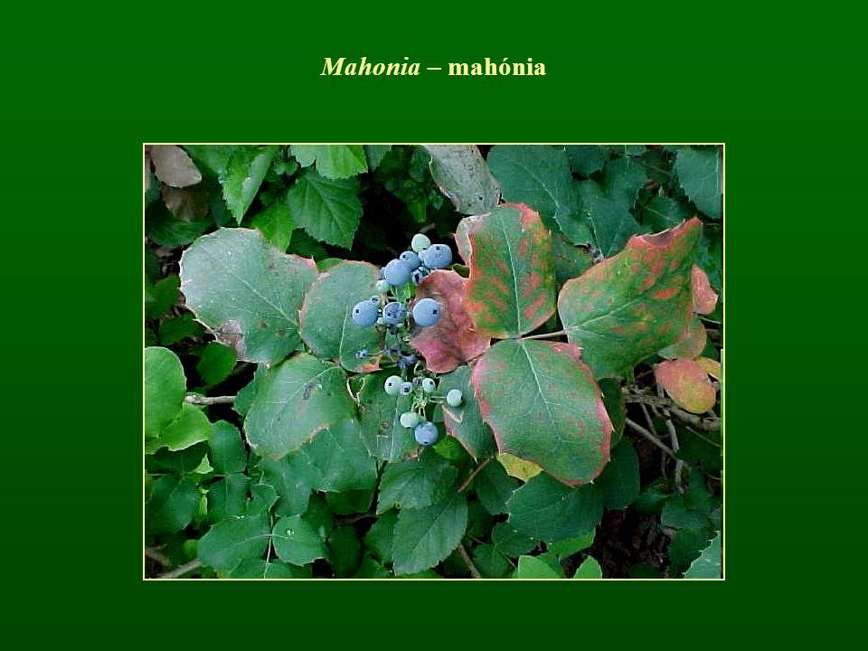 Mahonia – mahónia