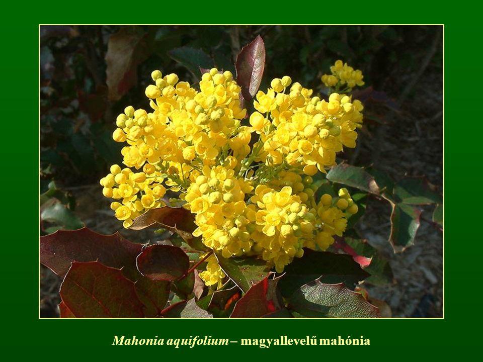 Mahonia aquifolium – magyallevelű mahónia
