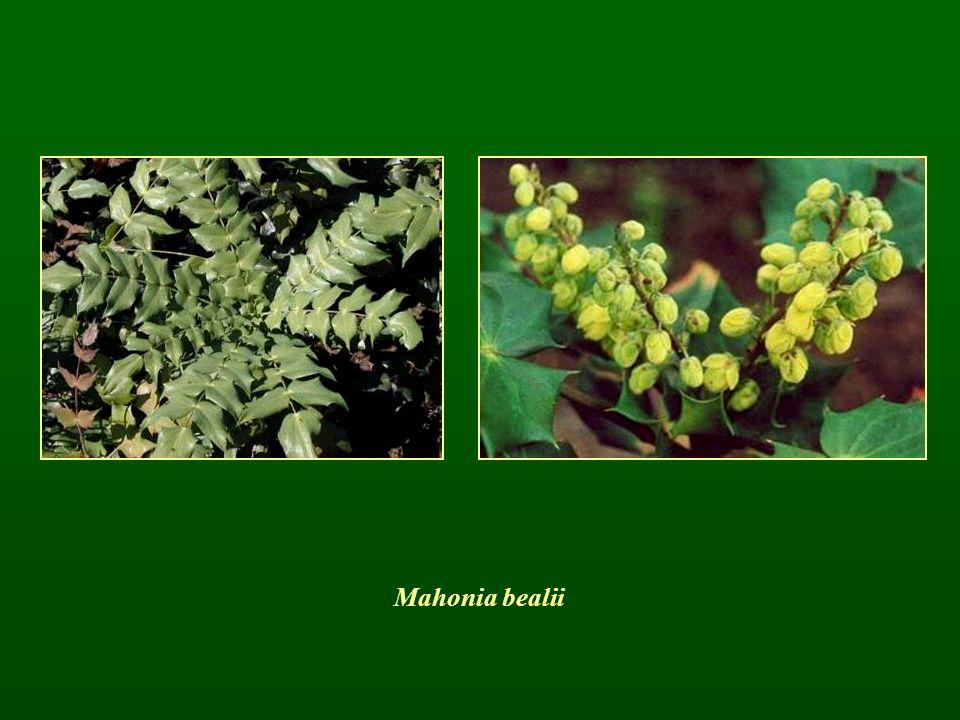 Mahonia bealii
