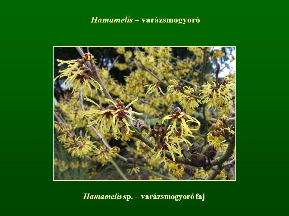 Hamamelis sp. – varázsmogyoró faj Hamamelis – varázsmogyoró