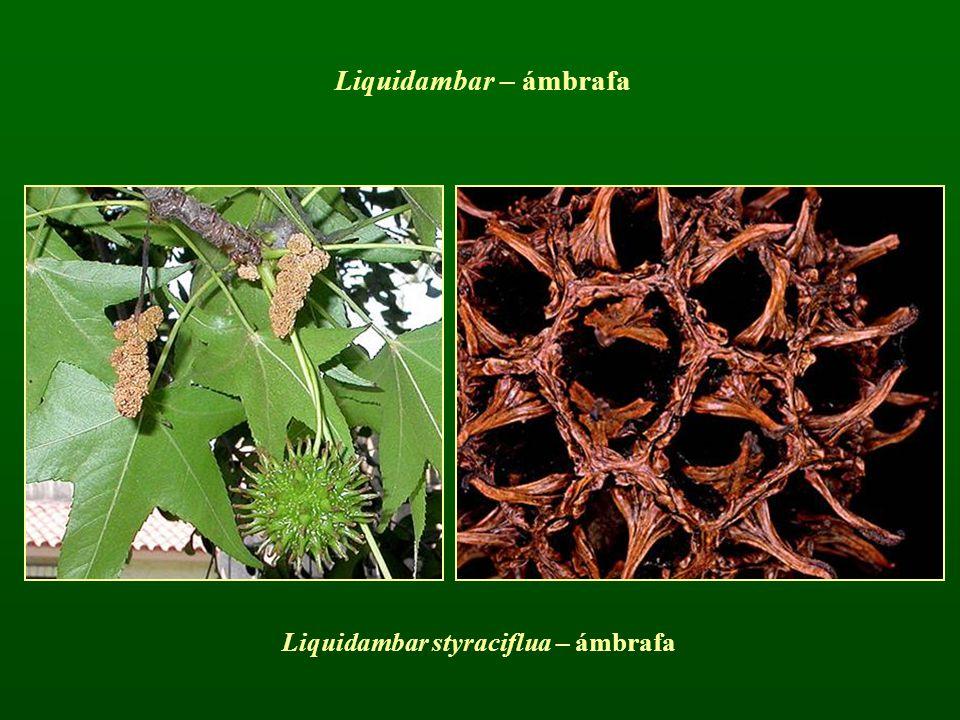Liquidambar styraciflua – ámbrafa Liquidambar – ámbrafa