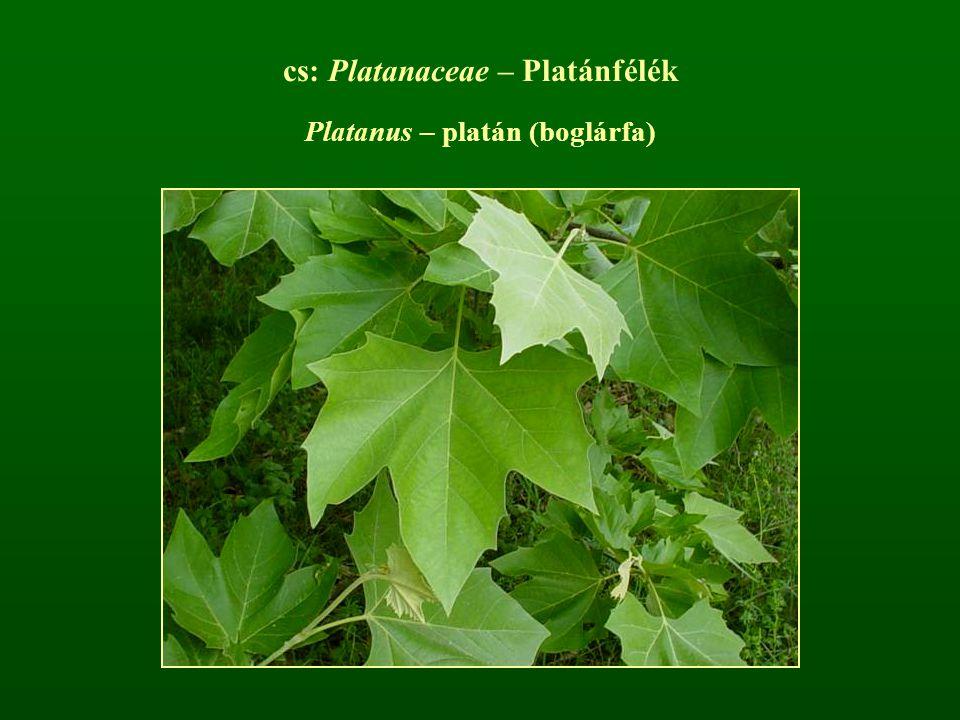 cs: Platanaceae – Platánfélék Platanus – platán (boglárfa)