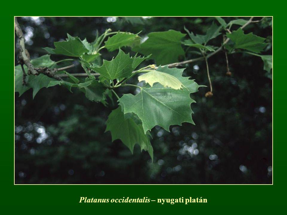 Platanus occidentalis – nyugati platán
