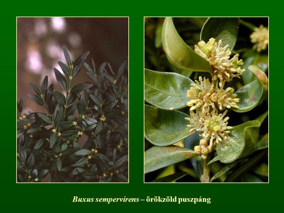 Buxus sempervirens – örökzöld puszpáng
