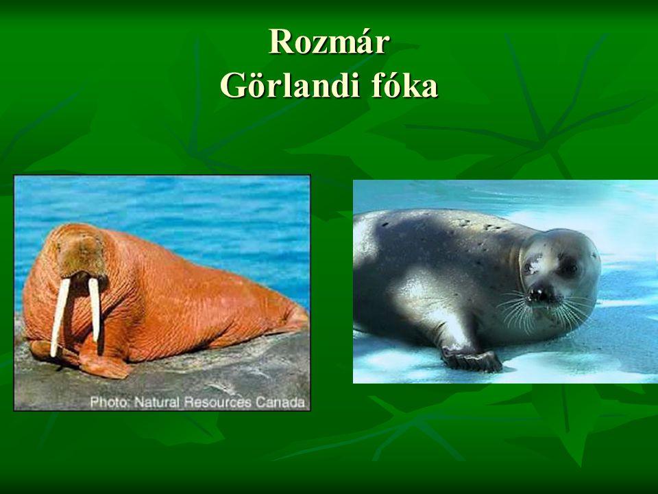 Rozmár Görlandi fóka