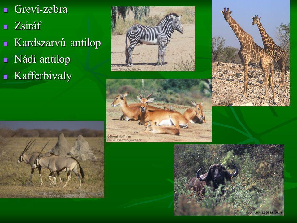Grevi-zebra Grevi-zebra Zsiráf Zsiráf Kardszarvú antilop Kardszarvú antilop Nádi antilop Nádi antilop Kafferbivaly Kafferbivaly