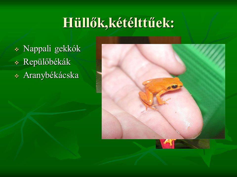 Hüllők,kétélttűek:  Nappali gekkók  Repülőbékák  Aranybékácska