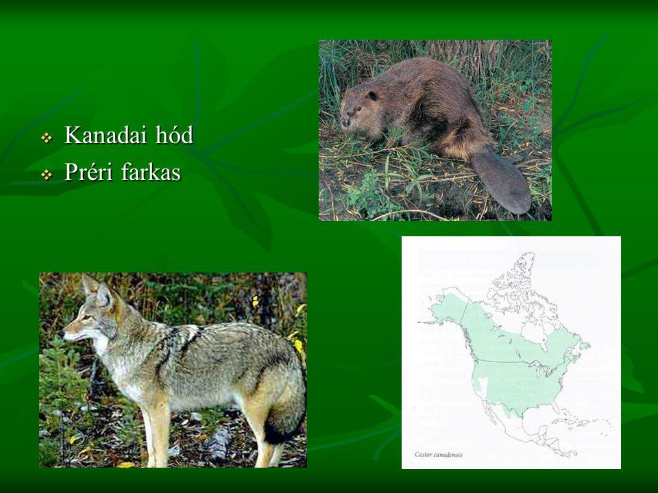 Grizzly medve Kanadában, Alaszkában és a Yellowstone Nemzeti Parkban él a legnagyobb populációja.
