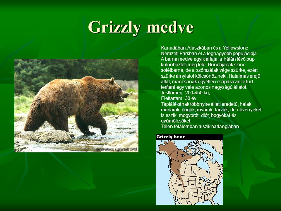 Grizzly medve Kanadában, Alaszkában és a Yellowstone Nemzeti Parkban él a legnagyobb populációja. A barna medve egyik alfaja, a hátán lévő pup különbö
