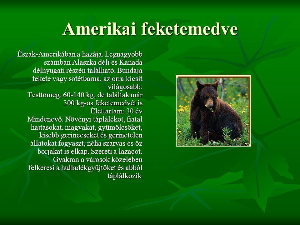 Amerikai feketemedve Észak-Amerikában a hazája. Legnagyobb számban Alaszka déli és Kanada délnyugati részén található. Bundája fekete vagy sötétbarna,