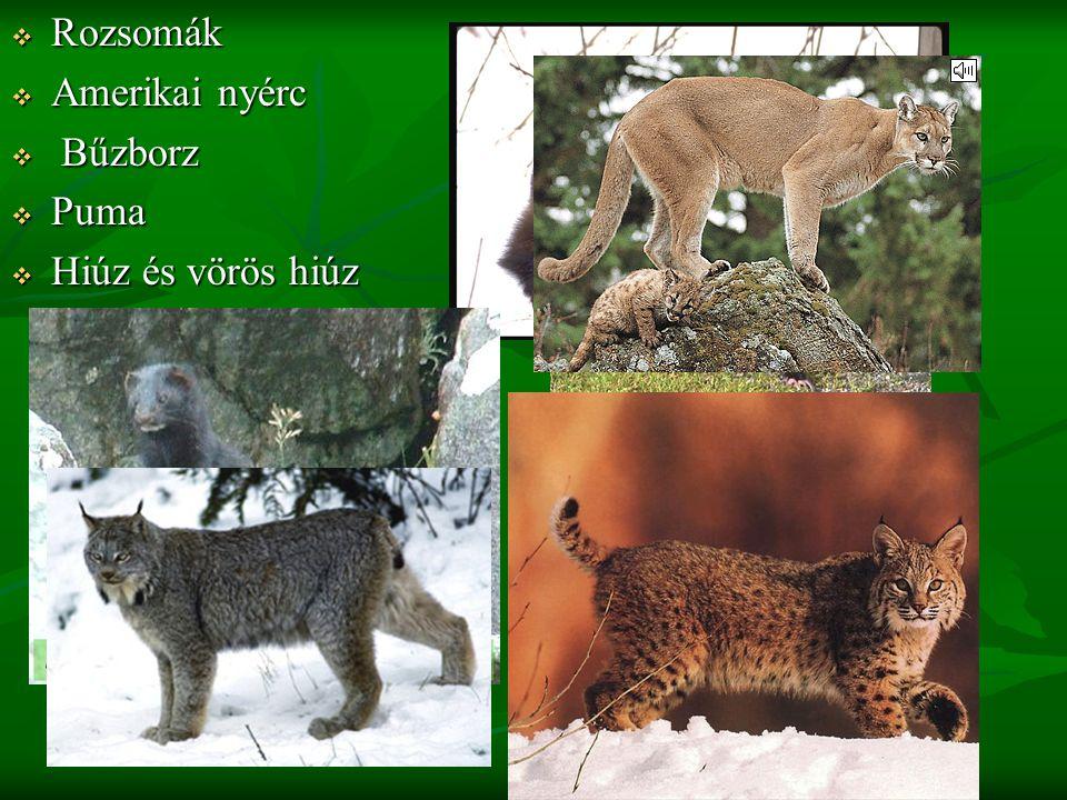  Rozsomák  Amerikai nyérc  Bűzborz  Puma  Hiúz és vörös hiúz