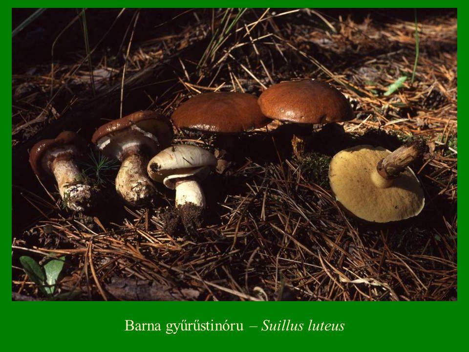 Barna gyűrűstinóru – Suillus luteus