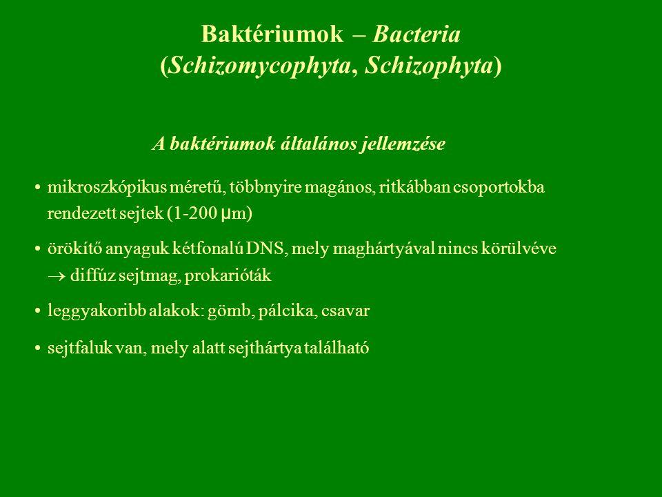 A baktériumok általános jellemzése mikroszkópikus méretű, többnyire magános, ritkábban csoportokba rendezett sejtek (1-200 μ m) örökítő anyaguk kétfonalú DNS, mely maghártyával nincs körülvéve  diffúz sejtmag, prokarióták leggyakoribb alakok: gömb, pálcika, csavar sejtfaluk van, mely alatt sejthártya található Baktériumok – Bacteria (Schizomycophyta, Schizophyta)