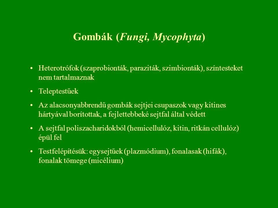 Gombák (Fungi, Mycophyta) Heterotrófok (szaprobionták, paraziták, szimbionták), színtesteket nem tartalmaznak Teleptestűek Az alacsonyabbrendű gombák sejtjei csupaszok vagy kitines hártyával borítottak, a fejlettebbeké sejtfal által védett A sejtfal poliszacharidokból (hemicellulóz, kitin, ritkán cellulóz) épül fel Testfelépítésük: egysejtűek (plazmódium), fonalasak (hifák), fonalak tömege (micélium)