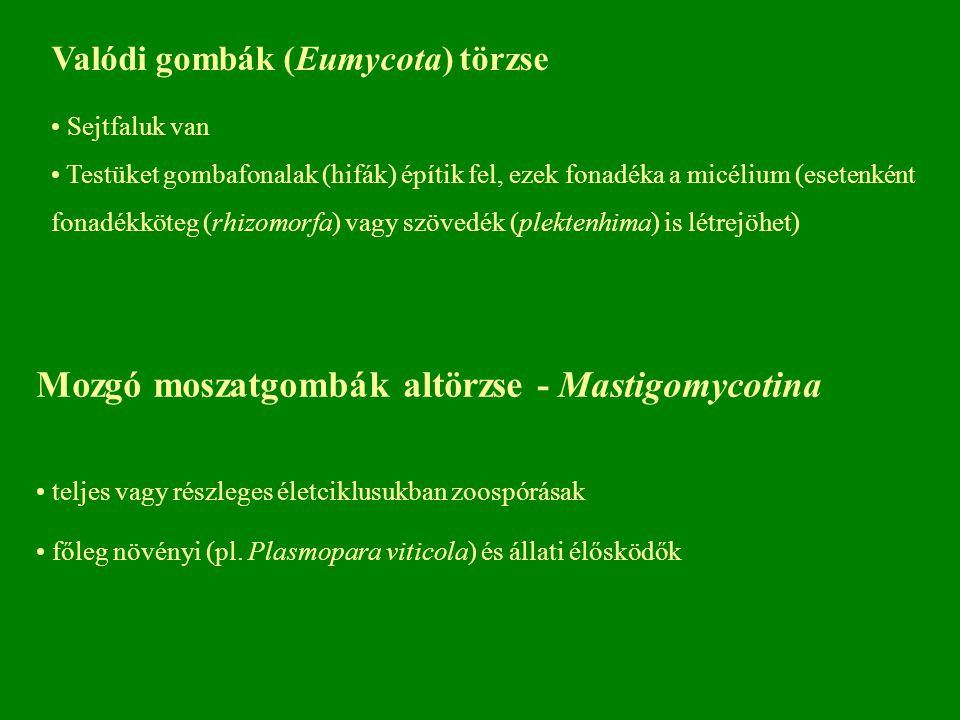 Valódi gombák (Eumycota) törzse Sejtfaluk van Testüket gombafonalak (hifák) építik fel, ezek fonadéka a micélium (esetenként fonadékköteg (rhizomorfa) vagy szövedék (plektenhima) is létrejöhet) Mozgó moszatgombák altörzse - Mastigomycotina teljes vagy részleges életciklusukban zoospórásak főleg növényi (pl.