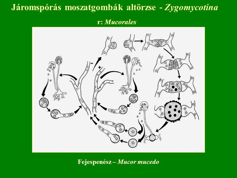 Járomspórás moszatgombák altörzse - Zygomycotina r: Mucorales Fejespenész – Mucor mucedo