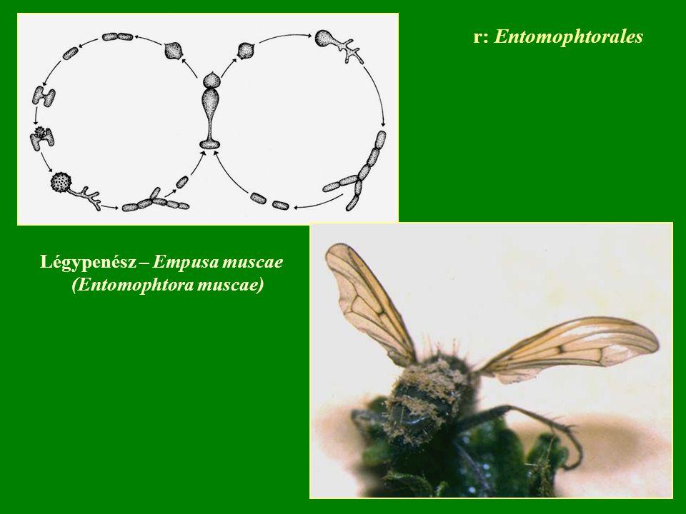 Légypenész – Empusa muscae (Entomophtora muscae) r: Entomophtorales