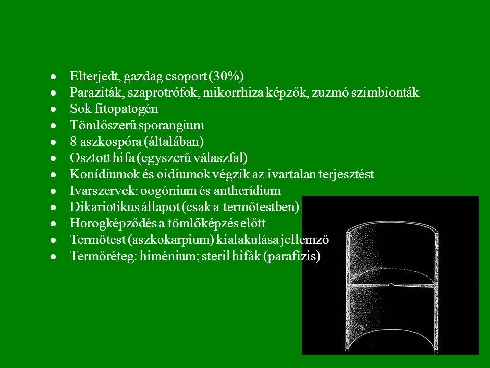  Elterjedt, gazdag csoport (30%)  Paraziták, szaprotrófok, mikorrhiza képzők, zuzmó szimbionták  Sok fitopatogén  Tömlőszerű sporangium  8 aszkospóra (általában)  Osztott hifa (egyszerű válaszfal)  Konídiumok és oidiumok végzik az ivartalan terjesztést  Ivarszervek: oogónium és antherídium  Dikariotikus állapot (csak a termőtestben)  Horogképződés a tömlőképzés előtt  Termőtest (aszkokarpium) kialakulása jellemző  Termőréteg: himénium; steril hifák (parafízis)