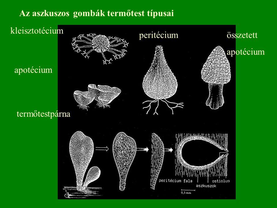kleisztotécium apotécium peritéciumösszetett apotécium termőtestpárna Az aszkuszos gombák termőtest típusai